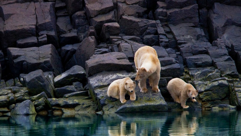 Polar Bears at Fjord across from Cape Fanshawe.