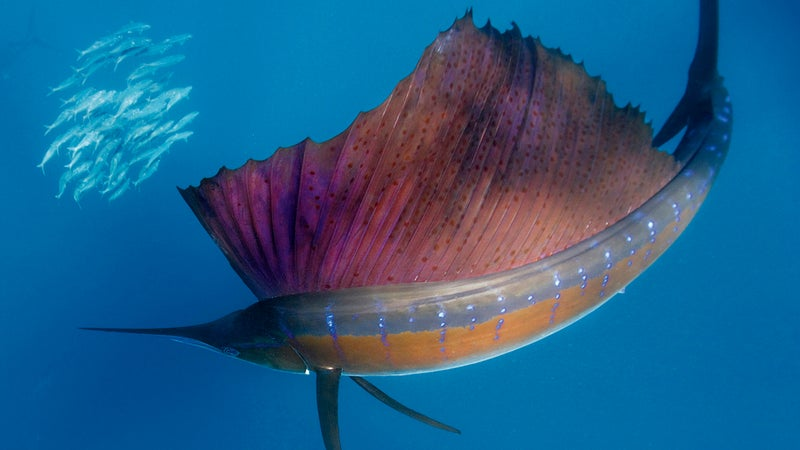 At around six-feet long, sailfish are the fastest swimming fish in the world.