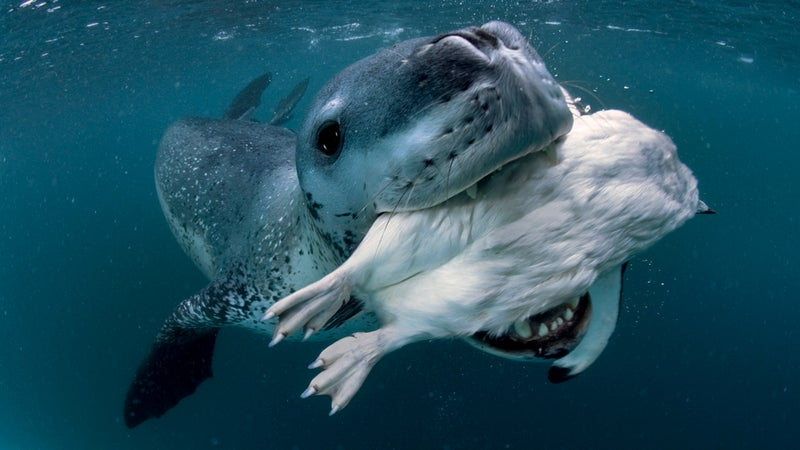 Leopard Seal after the hunt.