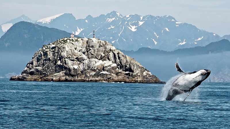 Humpback whale breach, Kenai Fjords National Park.