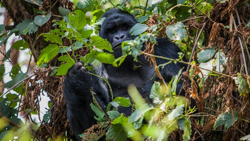 Mountain gorilla in Mgahinga National Park.