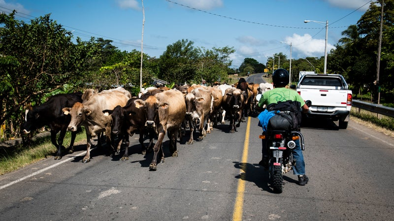 Jared Rosa waits for a herd of cattle to pass on the road between Rama and Santo Tomas.
