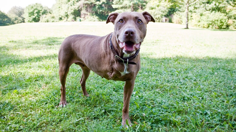 Lilly the pit bull lost her right leg saving an unconscious Christine Spain from an oncoming train.