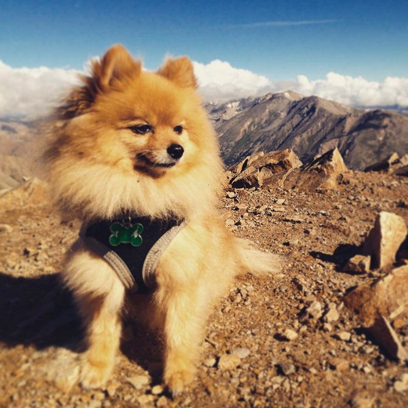 """@jimmimacc: """"It's not the size of the dog in the fight, it's the size of the fight in the dog."""" True that! This 9 lbs #Pomeranian, Bailey, has summited 9 Colorado #14ers almost entirely on his own. Just thought you should know."""