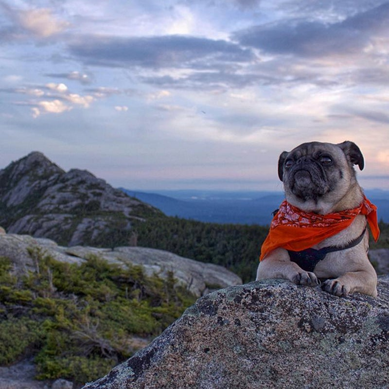 @pugventure_photo: This is Mack on the summit of #FirstSister with #MountChocorua in the background. #MackThePug California, here we come.
