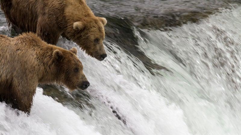 Brown bears on the Katmai cam.