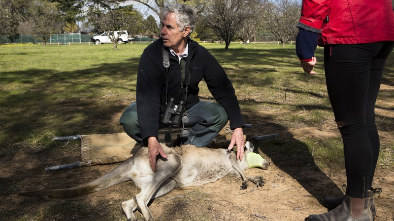 Don Fletcher with a tranquilized kangaroo during a sterilization campaign.