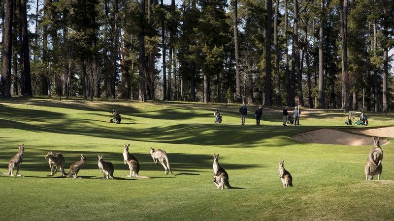Kangaroo mob at the Royal Canberra Golf Club.