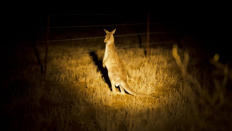 Target in sight: a roo lit up by a poacher's mounted spotlight.