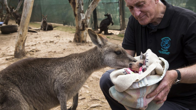 Steve Garlick caring for a joey named Fred at his wildlife rehabilitation center.
