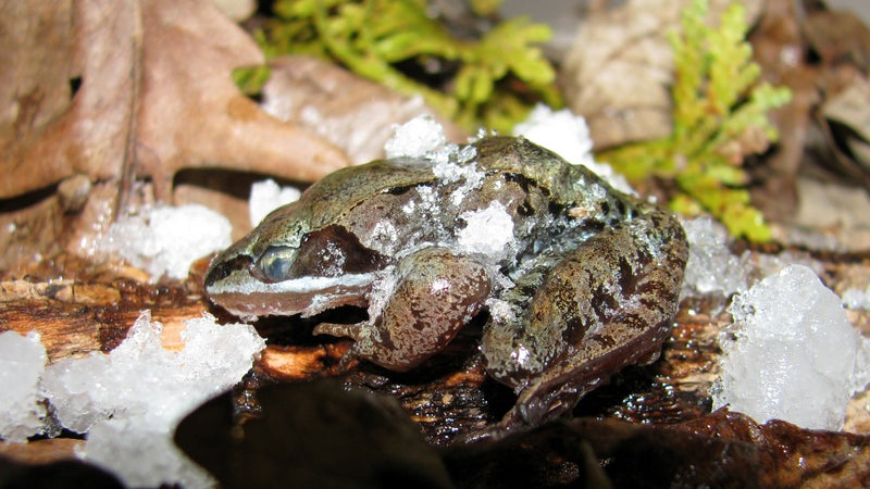 A frozen wood frog.