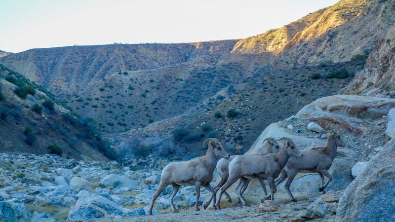 The bighorns made an appearance on Christmas day. But, with two big dogs running around, didn't stay for long.