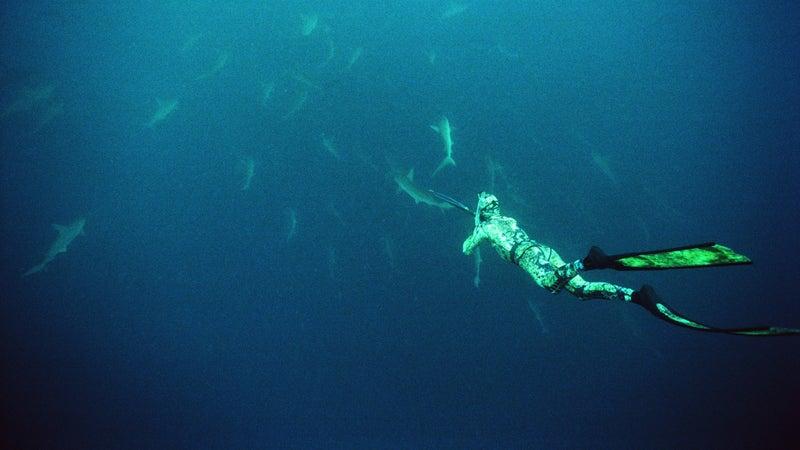 Tagging hammerhead sharks off Japan's Mikomoto Island.