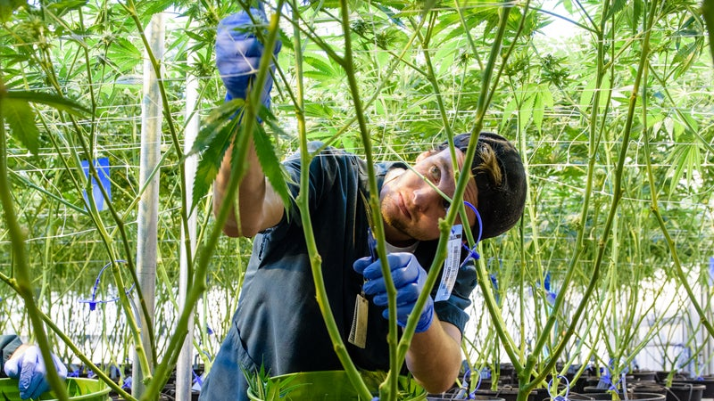 An employee trims the plants to keep the canopy high, allowing for good airflow.