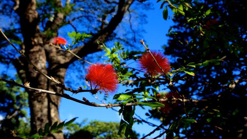 An ohia flower on Hawaii.