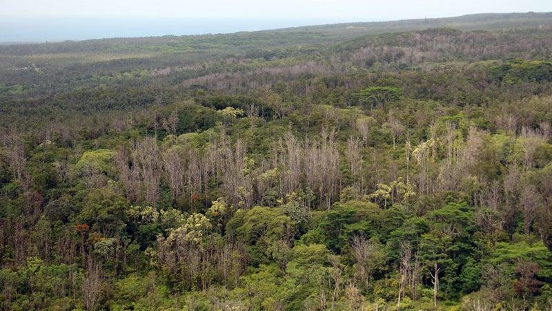 Dead ohia trees pepper a swath of forest on Hawaii's Big Island.