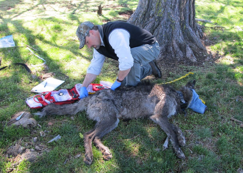Tagging and collaring is not easy on wild animals. They're tranq'd from the air, manhandled by researchers, then left in confusion. Still, it leads to valuable data, and the ability to track the animals through the wild.
