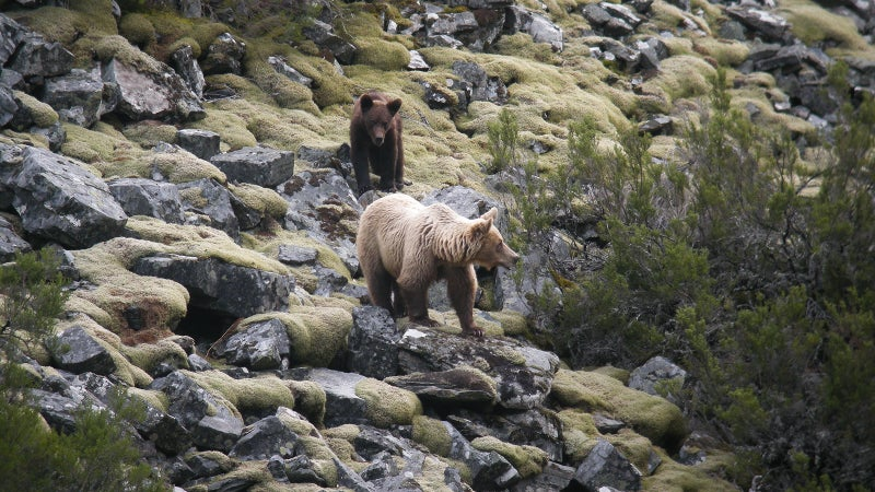 Brown bears (in Spain and elsewhere) can sometimes grow blonde hair.