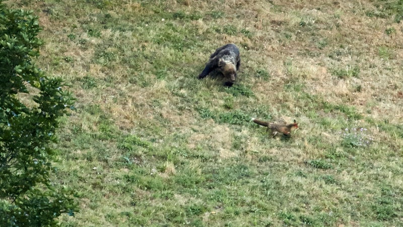 Gareth observed a brown bear and red fox playing a game of chase. The fox was probably trying to drive the bear away from its den. Brave fox.