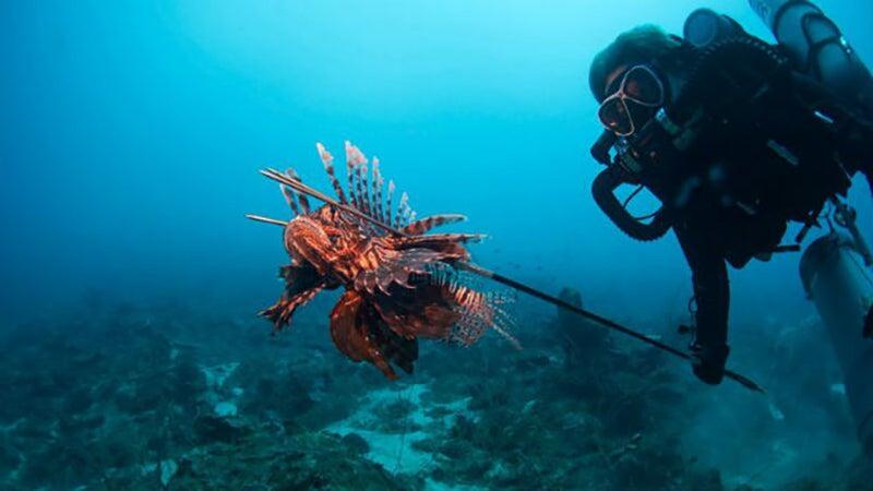 Laurel C. Allen spears a fat lionfish in the Caribbean.