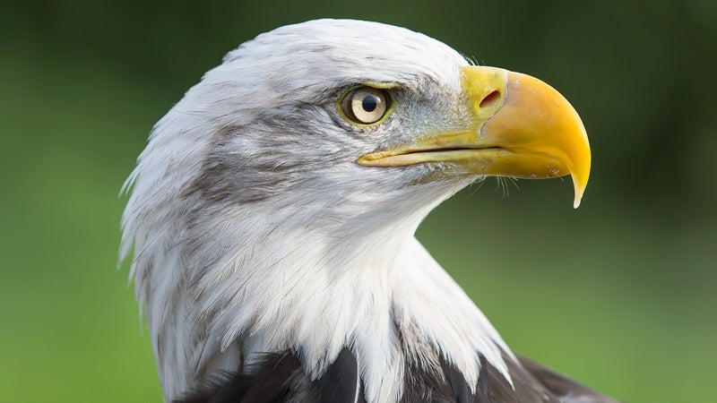The Bald Eagle's range extends into northern Mexico. Any large construction project along the border could disrupt their habitat.