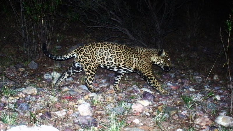 El Jefe himself, captured prowling on the Arizona side of the border by a remote trail cam.