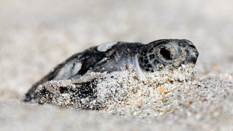 A green turtle hatches at Florida's Archie Carr National Wildlife Refuge. Any border wall would cut through many such protected areas.