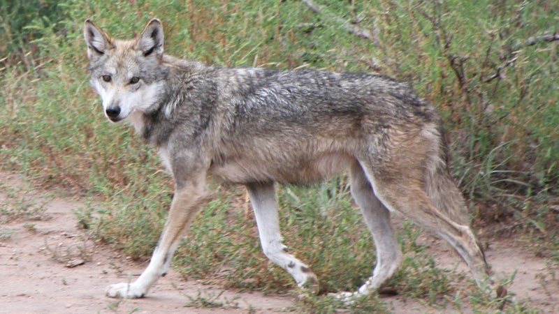 The Mexican Gray Wolf remains the most endangered subspecies of wolf in the world.