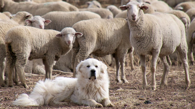 A great pyrenees sheep dog guarding its flock. If bear conservation efforts continue, these dogs should again be performing the role for which they were bred.