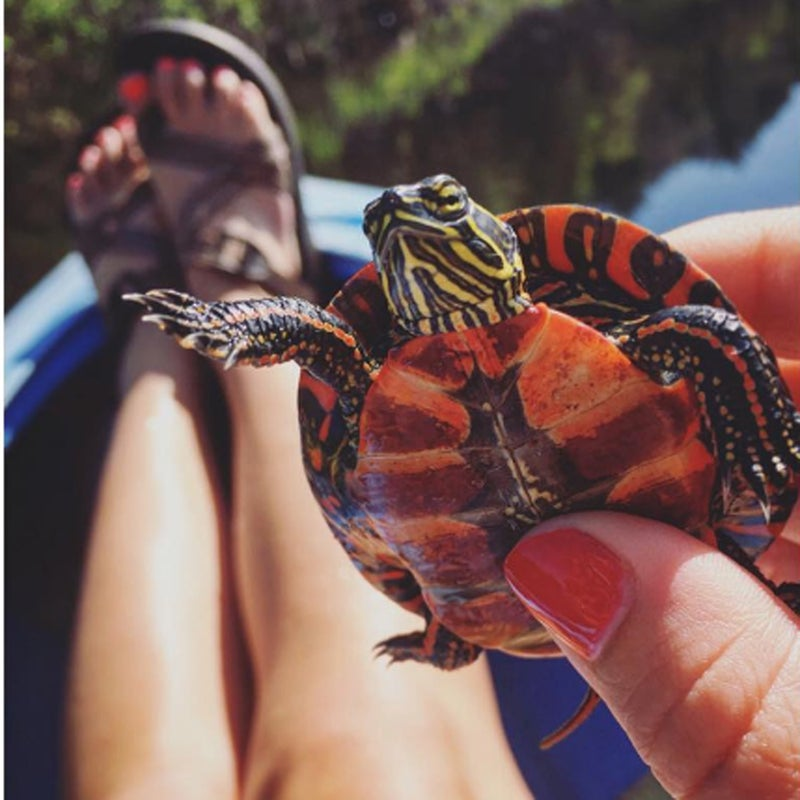 """""""Found this friendly, baby painted turtle basking in the sun on an old log...  #puremichigan #SummerOfChaco #turtle"""""""