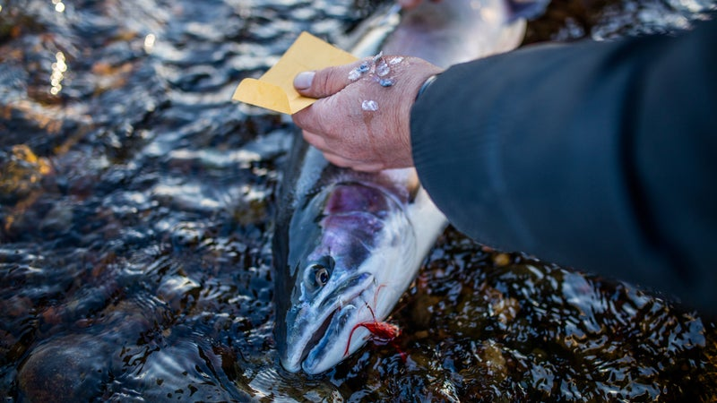 The anglers measure, tag, and collect scales from each of the fish they catch.