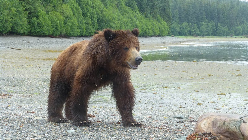 A large brown bear emerges from Pack Creek.