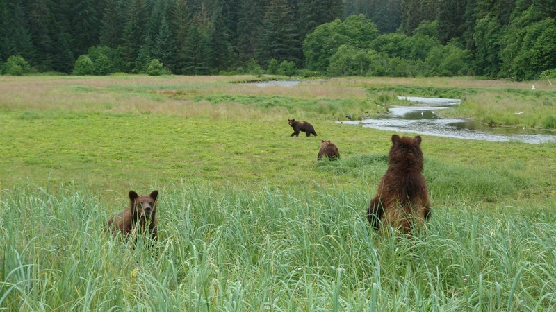 During July and August, it's not uncommon to observe up to 25 bears visiting Pack Creek at a time.