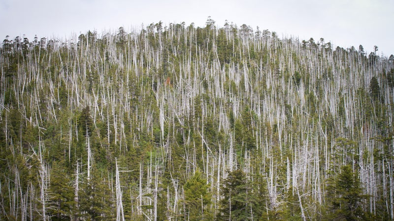 The extent of the yellow cedar dieback.