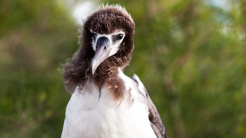 A juvenille albatross at a nesting site near Kauai's Moloaa Bay.