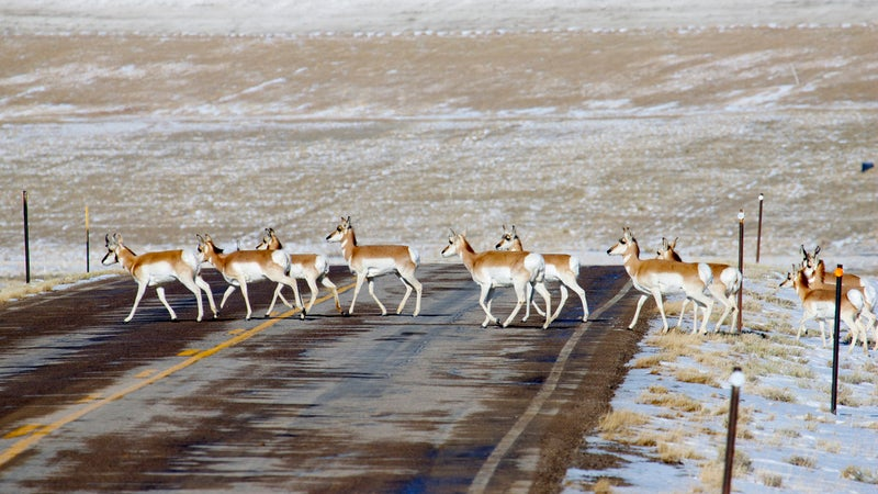 A herd of pronghorns crosses a road near Sweetwater, Wyoming.