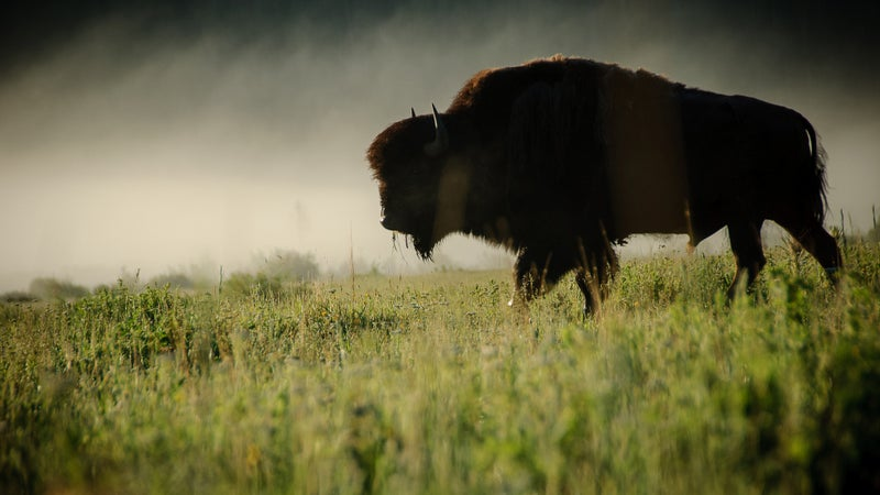 A bison captured early in the morning near Yellowstone National Park.