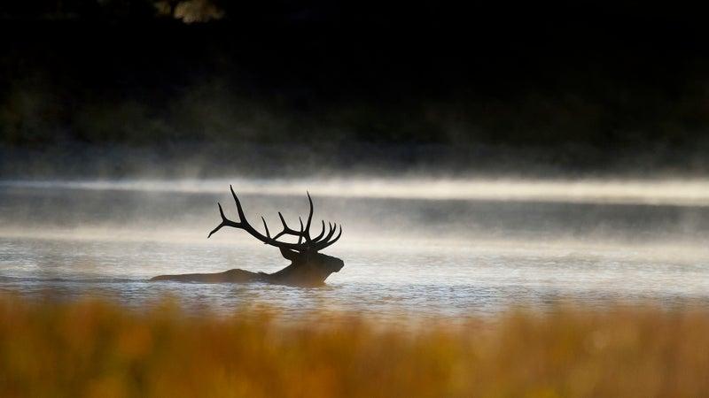 A bull elk crosses Wyoming's Snake River.
