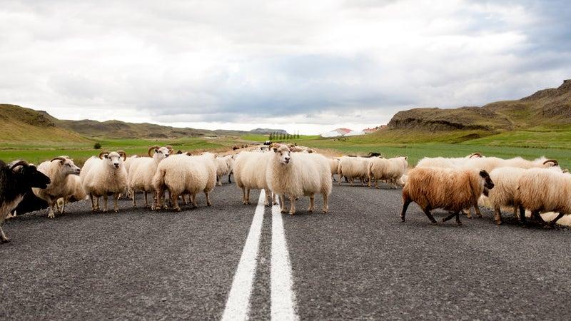 Icelandic traffic jam.