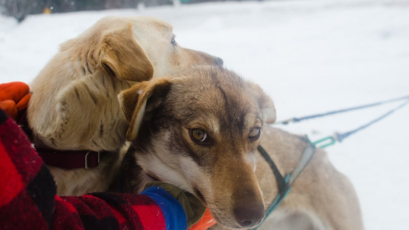Lead dog Jenga (right) and her father, Epson, ready to set the pace.