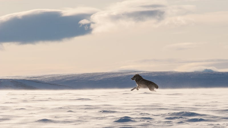A wolf near the Arctic National Wildlife Refuge.