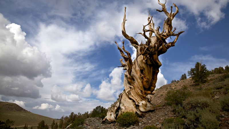 An ancient bristlecone pine in the White Mountains of California's Inyo National Forest.