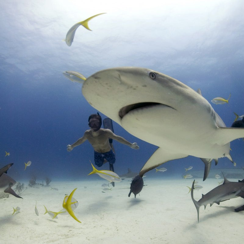 Rob Stewart free diving with Caribbean reef sharks. Freeport Bahamas.