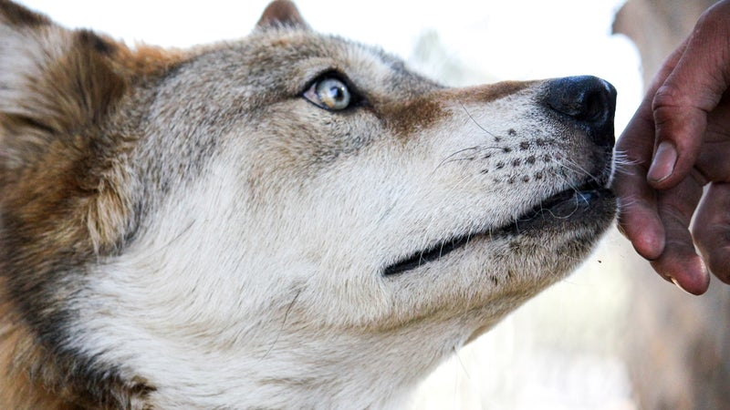 A rescued wolf named Bronco Billy touches a veteran's hand.