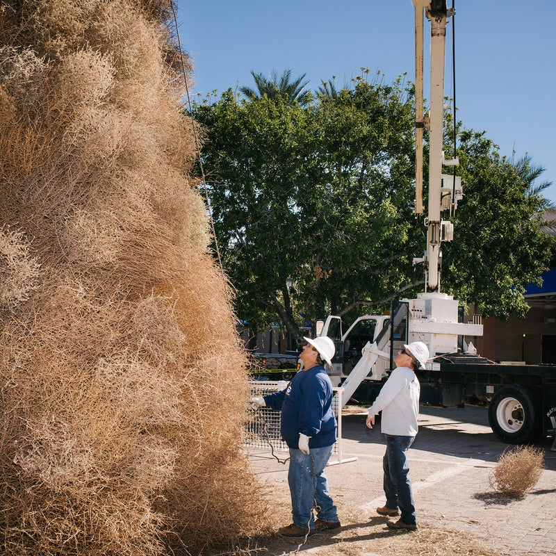 There are several holiday tumbleweed-inspired events in the southwest. The city of Chandler, Arizona, has built a giant Christmas tree made of tumbleweeds for more than 50 years. This photo shows workers constructing the tree, using a rope to check for a nice even smashing of tumbleweeds around the frame.
