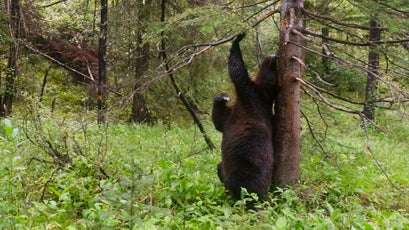 Grizzly bears stay in touch with other bears by leaving their scent on particular 'rubbing' trees.