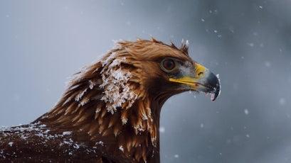 Golden eagles are one of the few birds tough enough to survive the mountain winter.