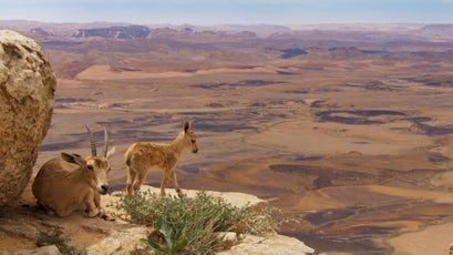 Nubian ibex live in some of the most inaccessible mountain habitats.