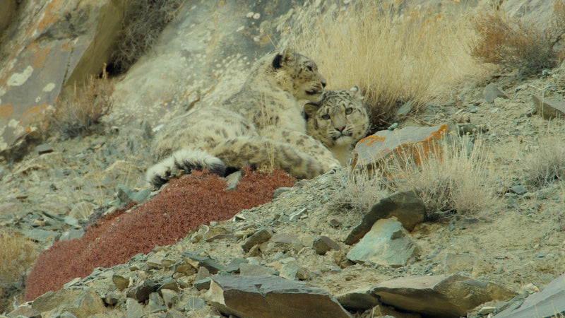 Spot the snow leopard mother and daughter.