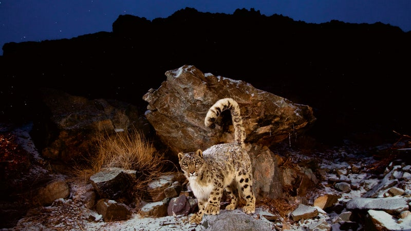 Spend five nights in Hemis National Park and you might catch a glimpse of the elusive snow leopard.